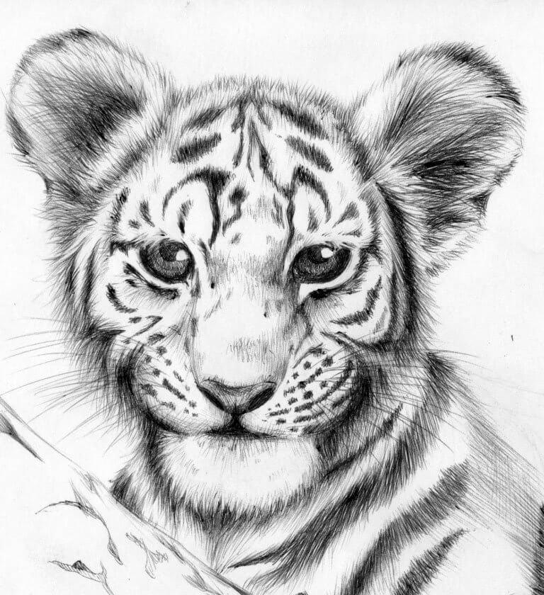 тигр для срисовки легко